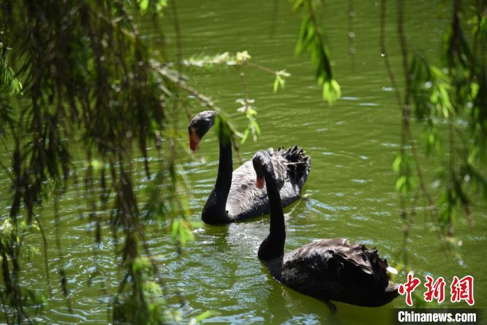 深圳野生动物园内的天鹅(资料图。) 李木生 摄